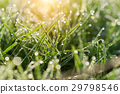 Fresh morning dew on spring grass 29798546