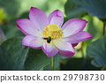 Bumble Bee and lotus flower in blooming 29798730