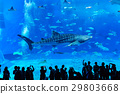 Powerful whale shark swimming elegantly at the Churaumi Aquarium 29803668