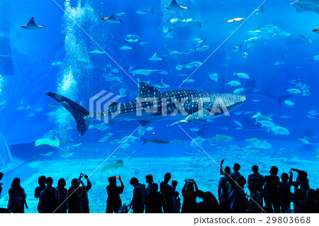 Powerful whale shark swimming elegantly at the Churaumi Aquarium 29803668