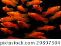 Molly fish ( Poecilia latipinna ) Aquarium fish 29807304