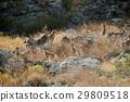 animal family goat 29809518