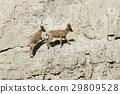 animal family goat 29809528