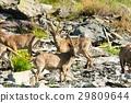 animal family goat 29809644