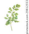 cilantro, coriander, chinese 29812553
