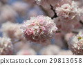 Japanese cherry blossom in spring 29813658