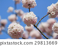 Japanese cherry blossom in spring 29813669