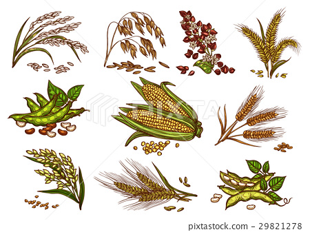 Grain and cereals vector isolated icons 29821278
