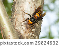 马蜂 蜜蜂 虫子 29824932