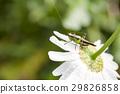 蚱蜢 蝗蟲 蟲子 29826858