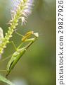 台灣大刀螳 日本巨螳螂 螳螂 29827926