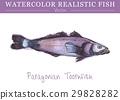 สีน้ำ,ปลา,เวกเตอร์ 29828282