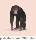 chimpanzee 29838443