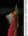 agalychnis, callidryas, frog 29847384