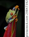 agalychnis, callidryas, frog 29847392