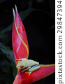 agalychnis, callidryas, frog 29847394