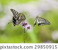 鳳蝶 蝴蝶 蟲子 29850915