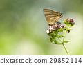 蝴蝶 花朵 花卉 29852114