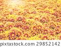 gerbera flower and sunsrt light background. 29852142