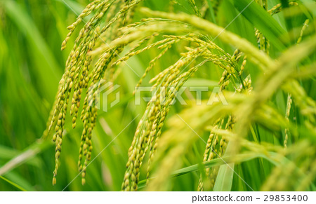 Close up of green paddy rice plant on Bali 29853400