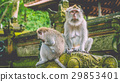 Sadly looking Long-tailed Macaque Monkey in the 29853401