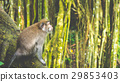 Long-tailed macaques sitting on an Tree, Macaca 29853403