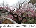 Plum tree 29853945