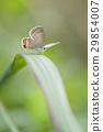 長尾藍蝶 蝴蝶 綠葉 29854007