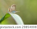 長尾藍蝶 蝴蝶 綠葉 29854008