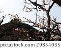 Plum tree 29854035