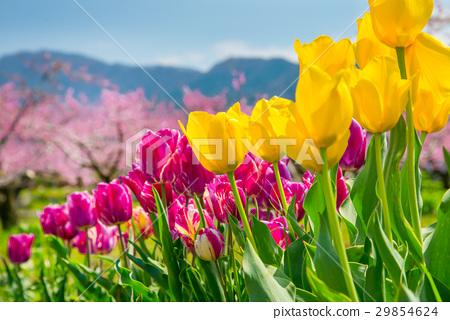 튤립과 복숭아 꽃 풍경 29854624