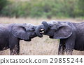 Two African elephants  29855244