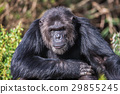 Portrait of a Common Chimpanzee in the wild 29855245