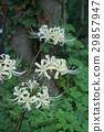 cluster amarylli, red spider lily, arubifurora 29857947