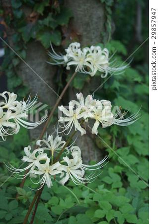 흰 피안 꽃 아루비후로라 백화 曼珠沙華 29857947
