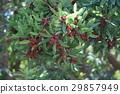 日本月桂樹的果實 植物 植物學 29857949