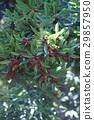 日本月桂樹的果實 植物 植物學 29857950