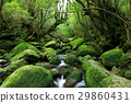 Yakushima Shiratani cloud water gorge Dynasty rock reciprocating course Mossy Sawa 29860431
