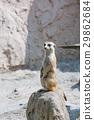 เมียร์แคท,สัตว์,ภาพวาดมือ 29862684