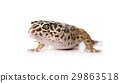 Portrait of leopard gecko over white 29863518