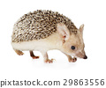 Hedgehog isolated on a white background 29863556