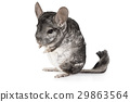 Grey chinchilla isolated on a white 29863564
