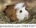 Domestic guinea pig 29863567