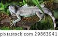 Large green Iguana 29863941