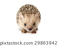 Hedgehog isolated on a white background 29863942