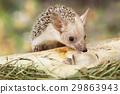 动物 哺乳动物 刺猬 29863943