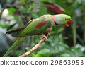 Ring-necked parakeet in the woods 29863953