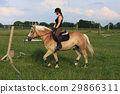 A young woman riding a horse Haflinger 29866311