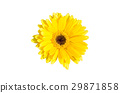 Yellow Gerbera flower isolated on white background 29871858