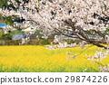 벚꽃, 유채, 평지꽃 29874226